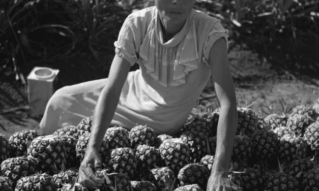 Woman working on a pineapple plantation in Manati, Puerto Rico