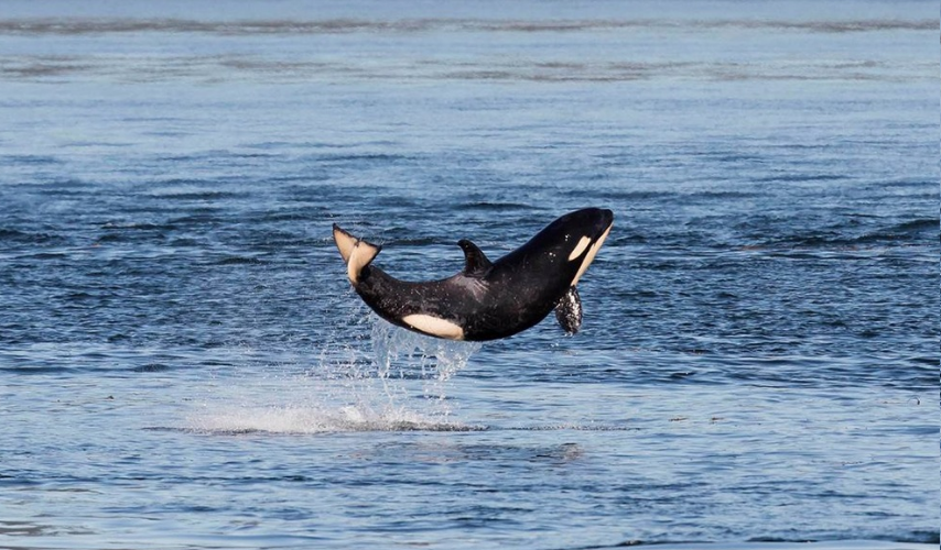 Baby Whale Jumps for Joy After Escaping Death