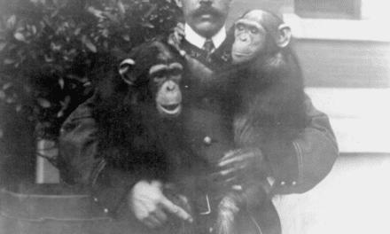 Chimpanzees, most man like of the apes, Bronx Park, New York