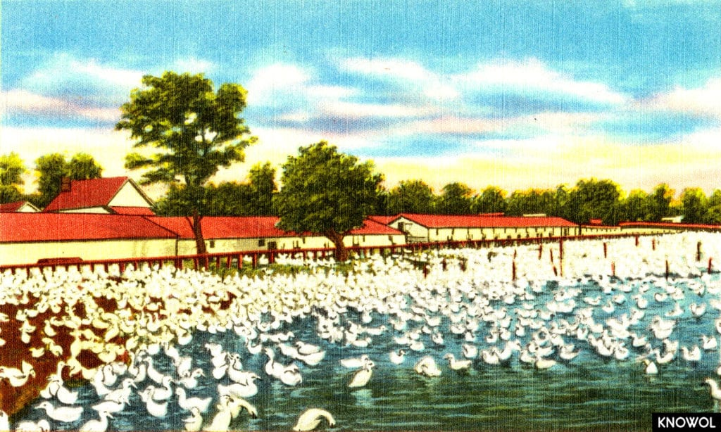 Picture of a duck farm on Long Island, NY